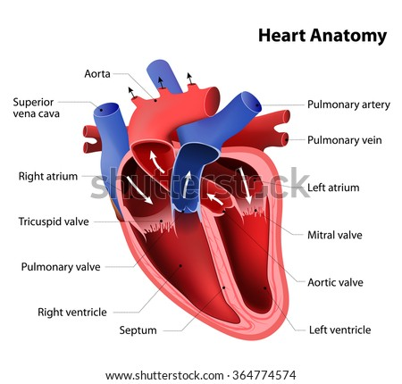 Part of the human heart. Anatomy - stock vector