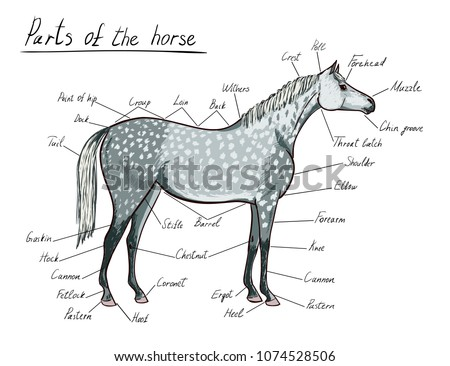 Parts Horse Equine Anatomy Equestrian Scheme Stock Vector Royalty