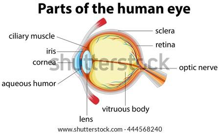 Parts human eye name illustration stock vector 2018 444568240 parts of human eye with name illustration ccuart Gallery