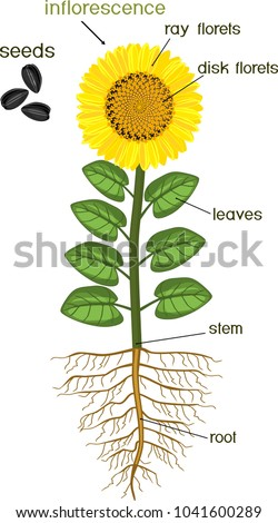Parts Sunflower Plant Morphology Flowering Plant Stock ...