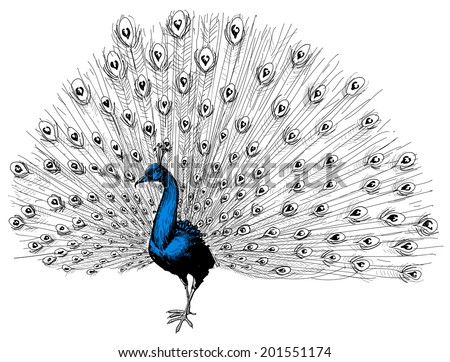 Peacock isolated hand drawing - stock vector