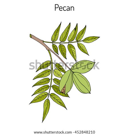 Pecan (Carya illinoinensis) nuts with leaves. Hand drawn botanical vector illustration