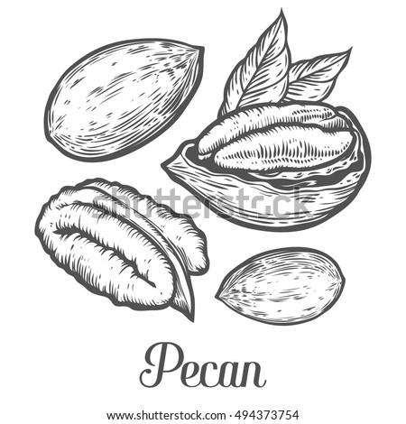 pecan tree stock images royaltyfree images amp vectors