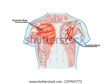 Pectoralis Major Muscle Muscles Chest Thorax Stock-Vektorgrafik ...