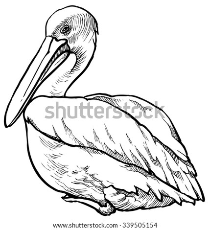 Pelican - hand drawn vector illustration, isolated on white - stock vector