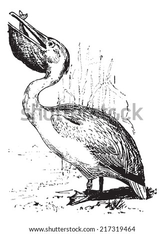 Pelican, vintage engraved illustration. Dictionary of words and things - Larive and Fleury - 1895. - stock vector