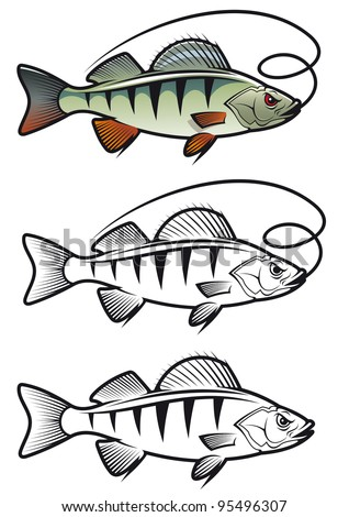 Perch fish in three variations isolated on white background for fishing mascot and emblem design, such a logo - stock vector