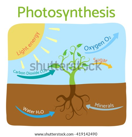 Photosynthesis diagram. Schematic vector illustration of the photosynthetic process.  - stock vector
