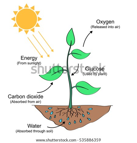photosynthesis process labelled illustration stock vector 535886359 shutterstock. Black Bedroom Furniture Sets. Home Design Ideas