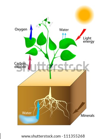 Photosynthesis. Vector. Schematic of photosynthesis in plants. - stock vector