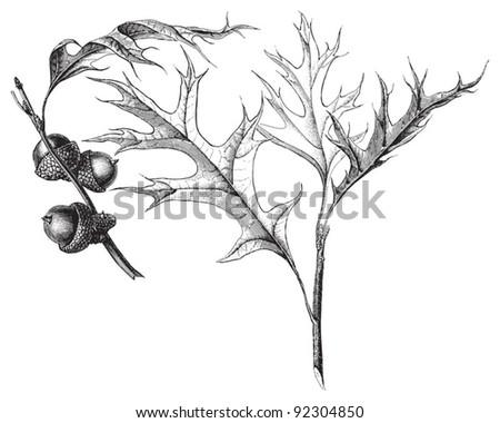 Pin oak (Quercus palustris) / vintage illustration from Meyers Konversations-Lexikon 1897 - stock vector