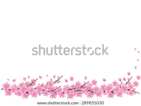 Pink Flowers Spring Background Sakura Cherry Blossom White Copy Space Isolated On
