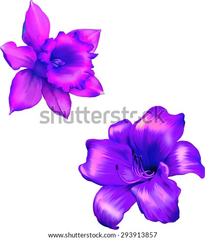 Pink lily flower.Purple Daffodil flower or narcissus isolated on white background