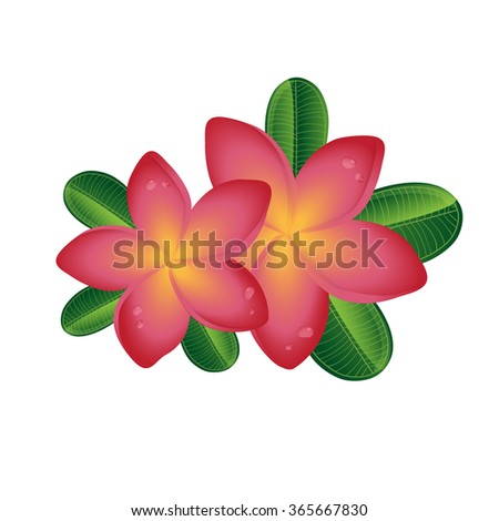 Pink Plumeria ( frangipany) flowers with leaves isolated on white background/ Tropical illustration for summer design - stock vector