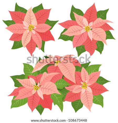 Pink poinsettia flowers for christmas decorations on white background - stock vector
