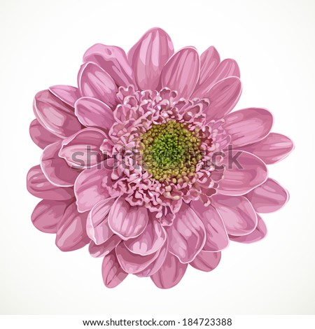 Pink realistic chrysanthemum flower isolated on white background - stock vector