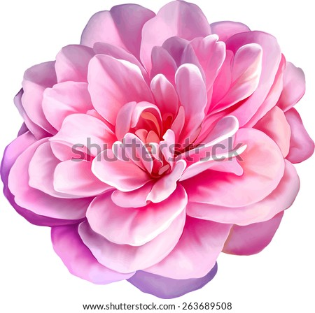 Pink Rose Camellia Flower isolated on white background - stock vector