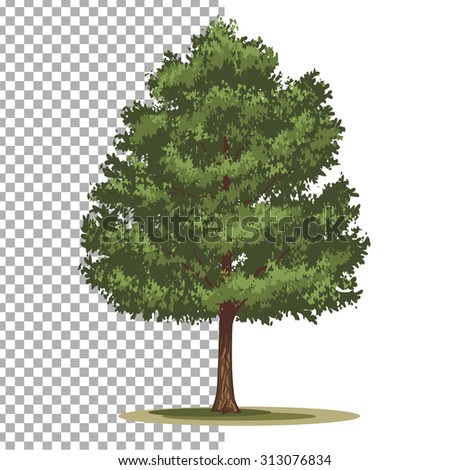 Pinyon Pine tree. Isolated vector tree on white background. - stock vector