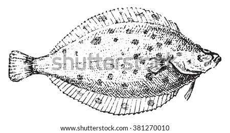 Plaice, vintage engraved illustration. Dictionary of words and things - Larive and Fleury - 1895.  - stock vector