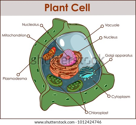 Plant cell anatomy diagram structure all stock vector 1012424746 plant cell anatomy diagram structure with all part nucleus smooth rough endoplasmic reticulum cytoplasm golgi apparatus ccuart Images