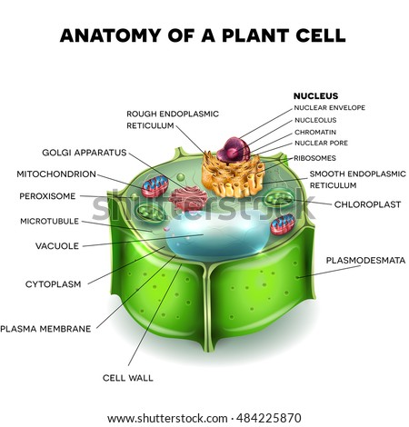 plant cell structure cross section cell stock vector hd royalty rh shutterstock com plant cell diagram blank plant cell diagram unlabeled