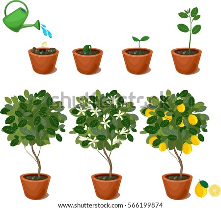 Plant growing seed lemon tree life stock vector 566199877 for What does a lemon tree seedling look like