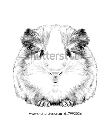 Plump cute guinea pig sketch vector graphics black and white drawing