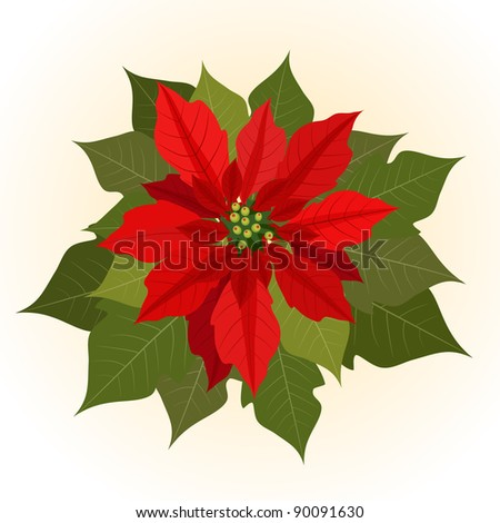 Poinsettia flowers for christmas - stock vector