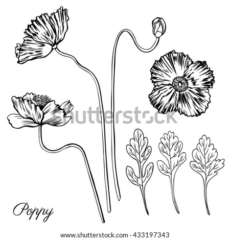 Poppy Flower Bud Leaves Vector Engraving Sketch Hand Drawn Isolated On White Vintage