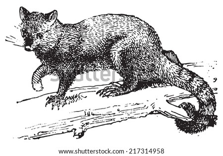 Possum, vintage engraved illustration. Dictionary of words and things - Larive and Fleury - 1895. - stock vector