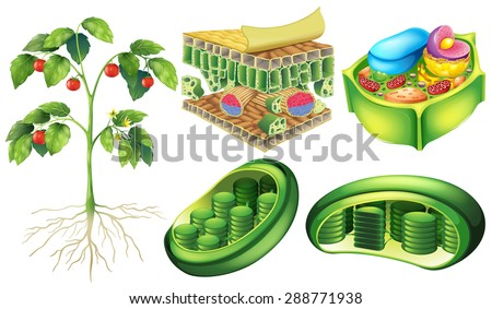 Plant cell stock photos images amp pictures shutterstock