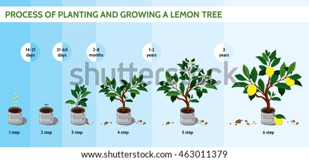 Process planting growing lemon tree lemon stock vector for Growing a lemon tree in a pot from seed