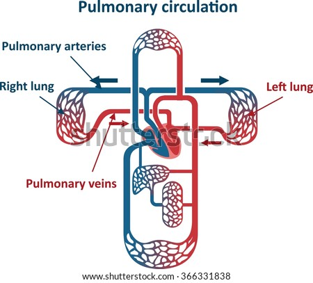 Pulmonary circulation - stock vector
