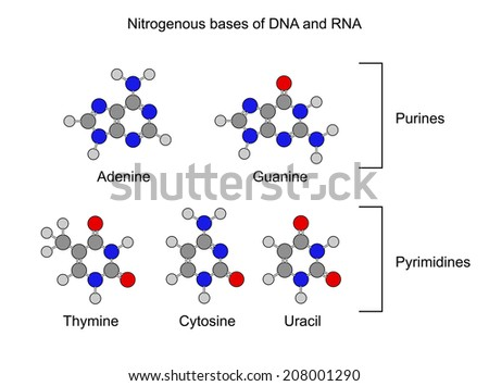 Purine and pyrimidine nitrogenous bases - structural chemical formulas, 2d illustration, isolated on white background, circles and sticks style, vector, eps 8 - stock vector