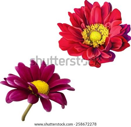 Purple daisy, Mona Lisa flower, Red flower, Spring flower.Isolated on white background. - stock vector