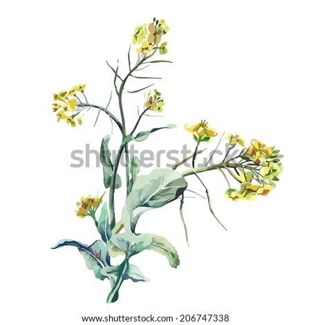 Rapeseed - stock vector