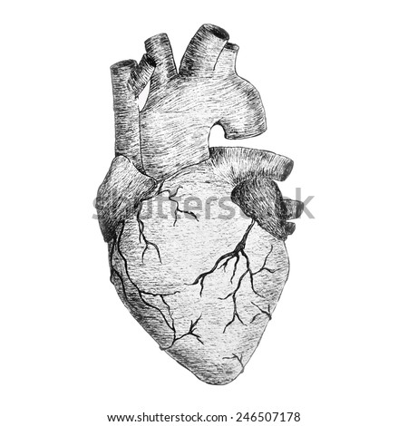 real anatomic heart black and white hand drawing illustration