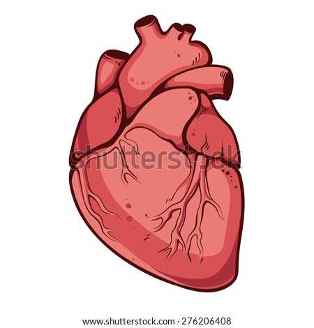 Real heart. Vector illustration - stock vector