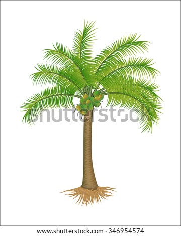 realistic coconut tree vector illustration isolated on white - stock vector