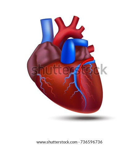 Realistic Detailed 3 D Human Anatomy Heart Stock Vector 736596736 ...