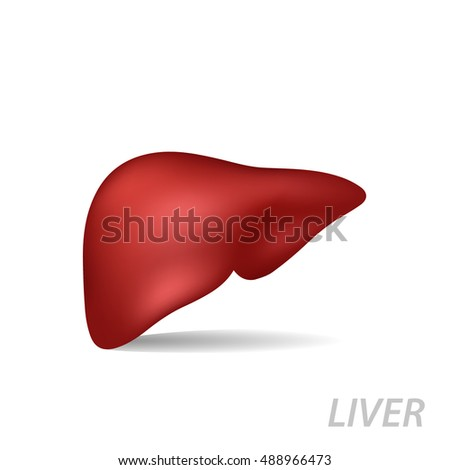 Realistic human liver. Medicine anatomy, organ human, health and biology isolated on white background, vector medical illustration