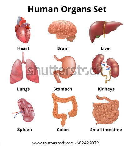 Picture of human organ