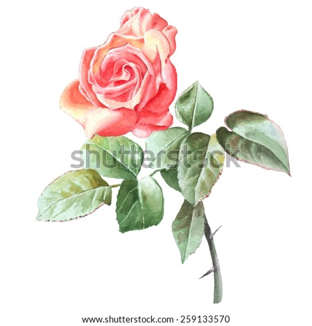 Realistic rose. Watercolor. Hand drawn. - stock vector
