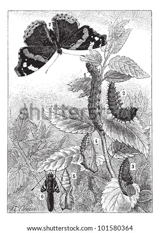 Red Admiral or Vanessa atalanta, showing development  (1) Early Instar, (2) Late Instar (3) Pupa (4) Chrysalis (5,6) Nymph, and (6) Imago,vintage illustration. Dictionary Words and Things 1895 - stock vector