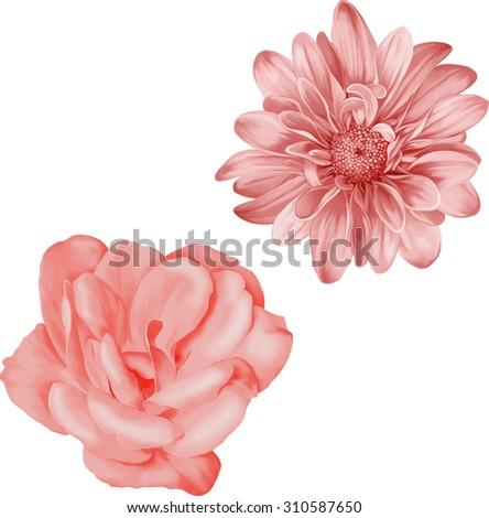 red chrysanthemum flower, Blue Spring Camellia flower.Isolated on white background. Vector golden-daisy. - stock vector