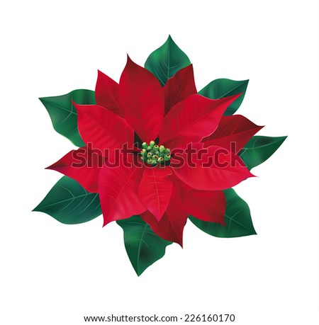 Red flower poinsettia on white. Vector eps 10. - stock vector
