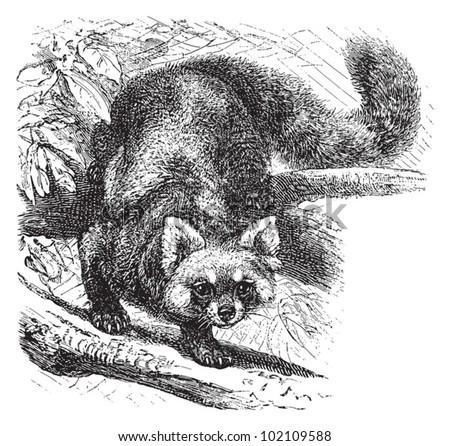 Red panda (Ailurus fulgens) / vintage illustration from Brockhaus Konversations-Lexikon 1908 - stock vector