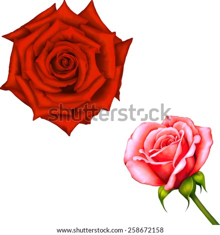 Red Pink Rose Flower, Sexy and beautiful and rose bud isolated on white background. Vector illustration - stock vector