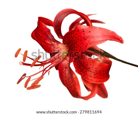 red tiger lily, vector - stock vector