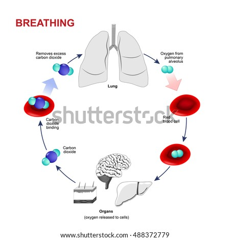 Respiration breathing gas exchange humans path stock vector royalty gas exchange in humans path of red blood cells oxygen ccuart Gallery